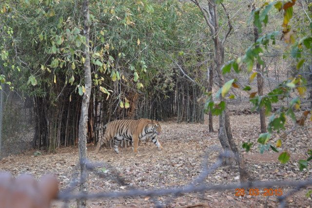 Tiger in Van Vihar