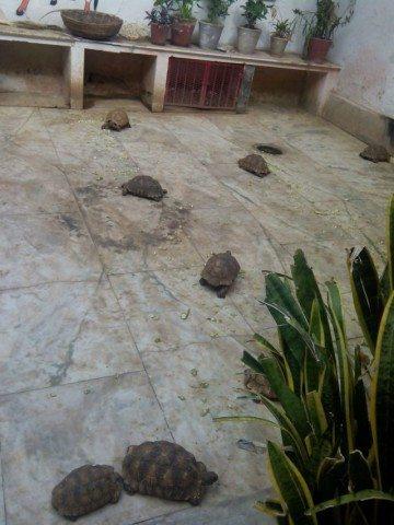 मदन मोहन मंदिर के अंदर घूमते पालतू कछुए