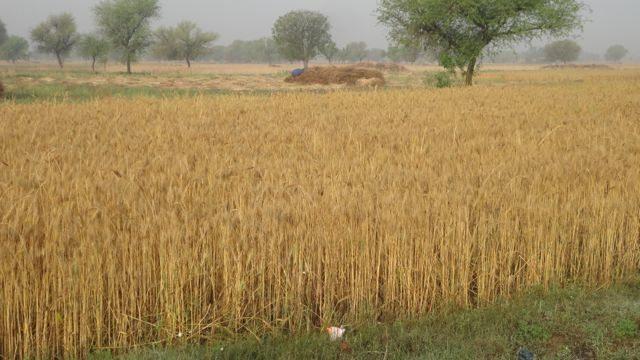 Wheat fields of Nareda Kalan Village