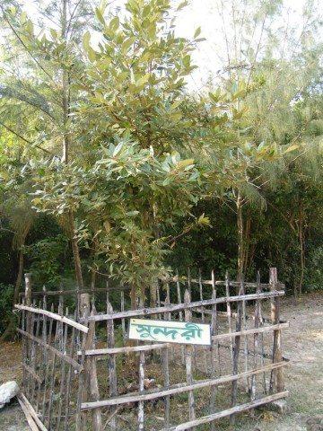 सुन्दरी पेड़, जिसके कारण इस जगह का नाम सुंदरवन पड़ा