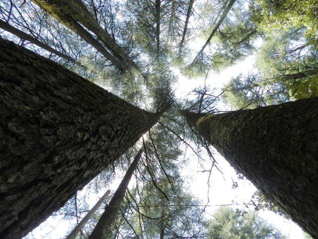 High Deodar Trees