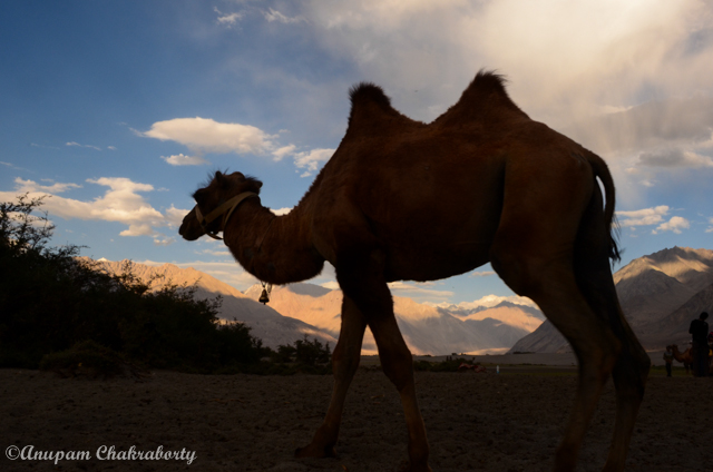 Double Humped Bactrian  Camel