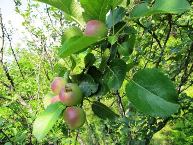 Sitla village - Apple Orchard