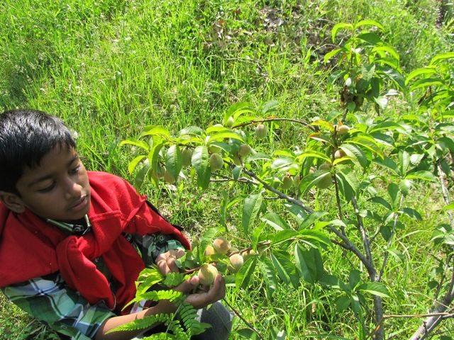 Sitla Village – Young Peach Tree