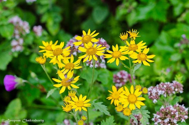 Botanical name of these flowers is Senecio Laetus