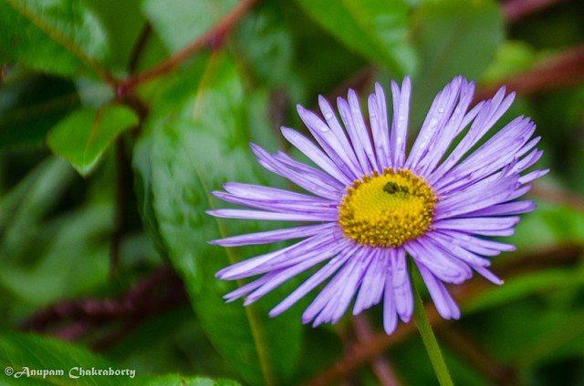 "This dark purple flower has its botanical name ""Erigeron Multiradiatus"""