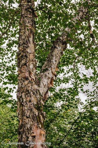 Himalayan birch (Bhojpatra tree)!