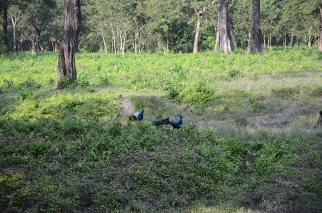 Making the world more colourful : Peacocks came out of the forest