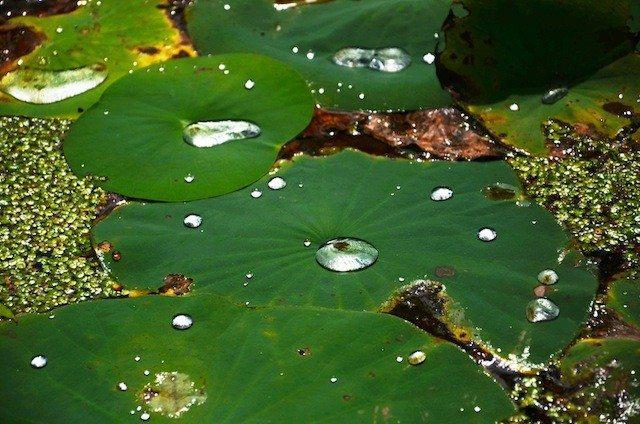 Pearl like water droplets on lotus leaf