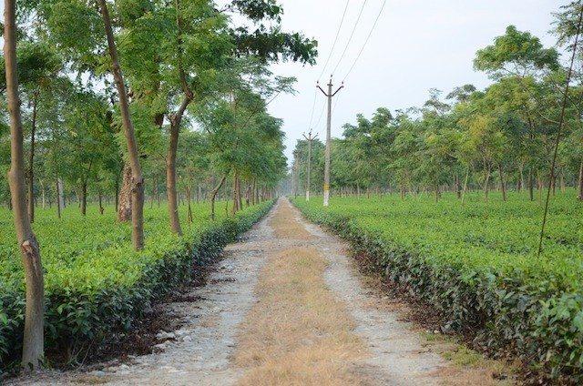 The Satali Tea Estate