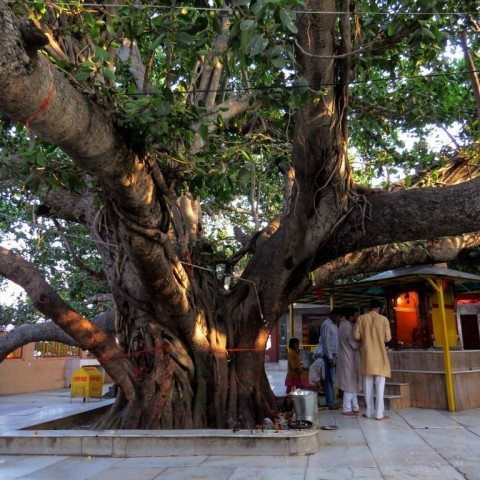 पांच हज़ार से अधिक वर्ष पूर्व का महाभारत कालीन वट वृक्ष