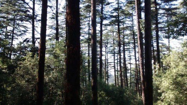 देवदार के वृक्ष