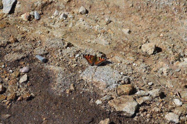 An open-winged fearless butterfly