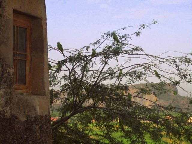 Parrots at the Fort walls