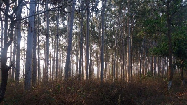 Pine forest, Daringbari