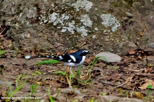 Slaty back forktail