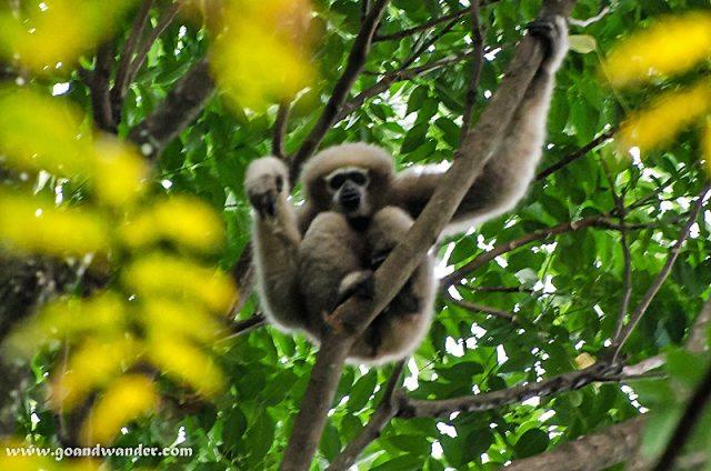 Hollock Gibbon