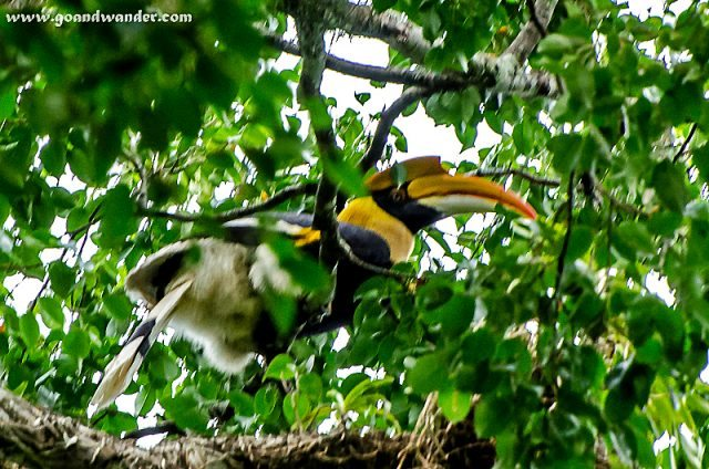 Indian Great Pied Hornbill