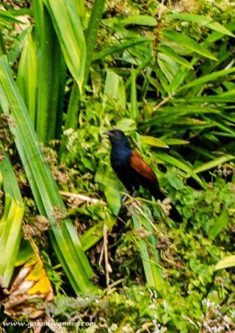 Red Start Bird