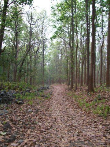 Early morning jungle walk through sal trees