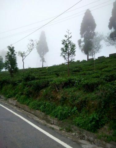 Tea Gardens along the road