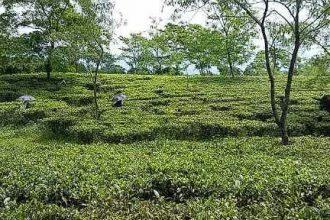 Samsing tea gardens