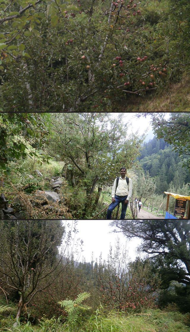 खीर गंगा ट्रैकिंग मार्ग के दोनों ओर पके हुए लाल-लाल सेब के वृक्ष