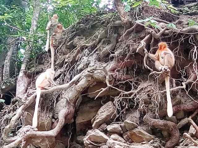 The Golden Himalayan Langoors